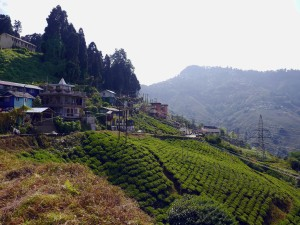 A Walk through the Lanes and Tea Fields of Darjeeling